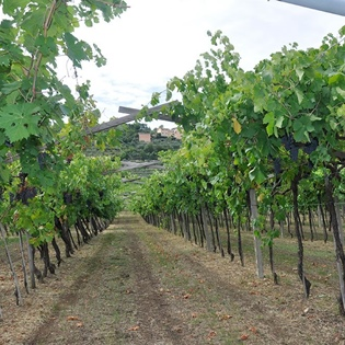 Verona pergola vineyard owned by our company