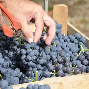Harvested in boxes of the grapes for the production of Amarone, Rondinella blend