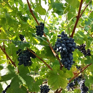 Grapes of Corvina Veronese